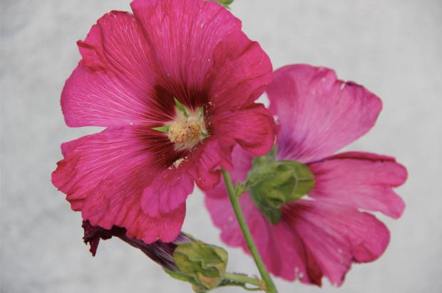 Mornac sur Seudre Roses Trémières Zoom Rose Fonce